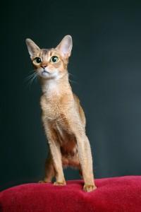 Jeune chat abyssin en studio