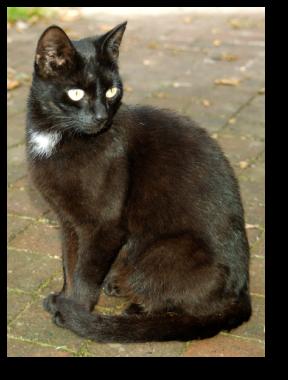 Chatte noire avec tache blanche