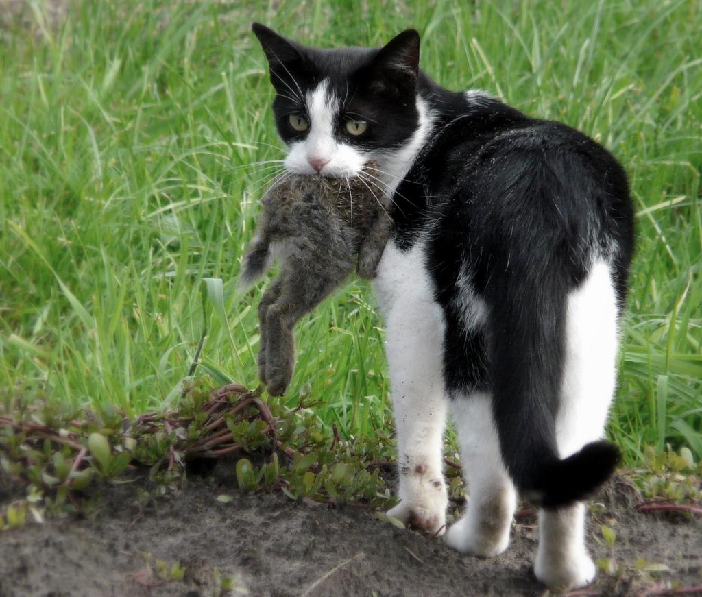 Un chat tient un lapin dans sa gueule