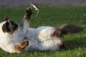 Le chat joue avec la souris