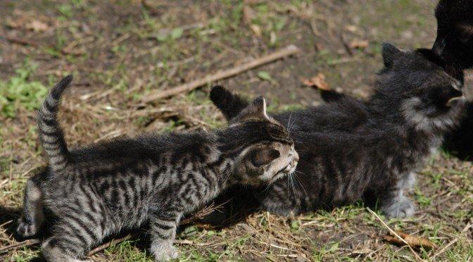 Les chatons de Casquine en 2007