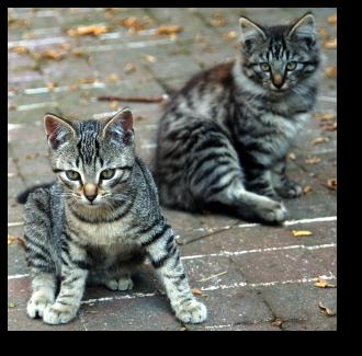 Chatons tigrés gris